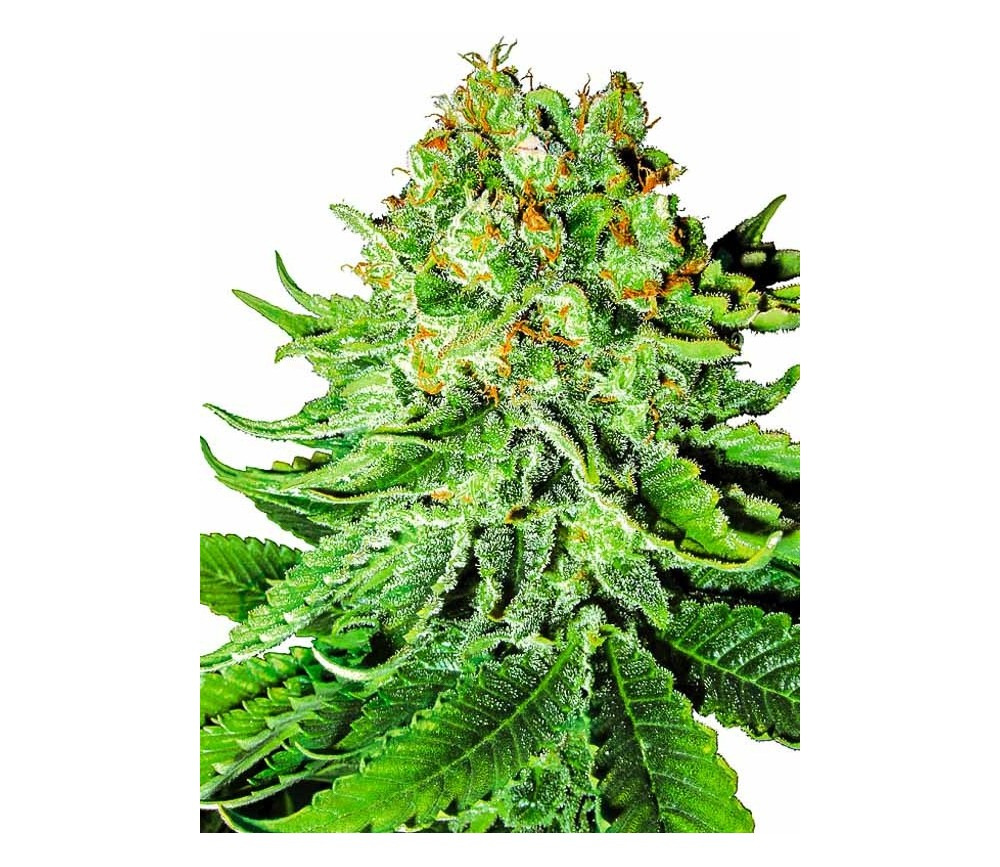 Northern Lights Automatic - White Label Seeds