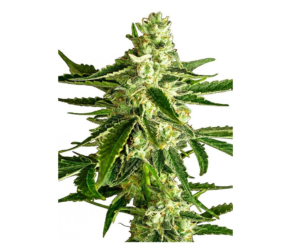 White Diesel Haze Automatic - White Label Seeds