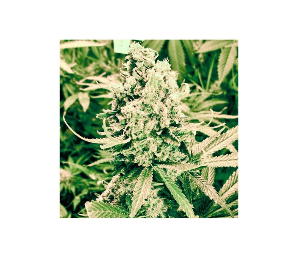 Blueberry Kush Autofloreciente -Nirvana Seeds