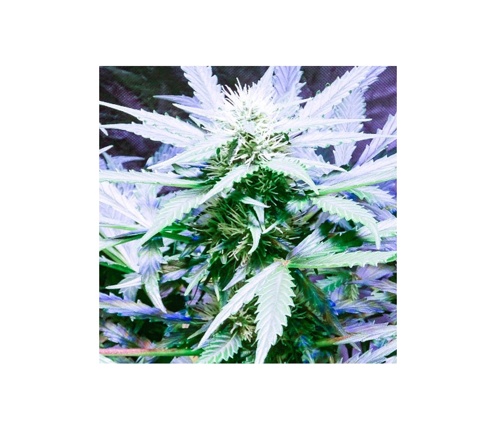 Lemon OG Haze - Nirvana Seeds