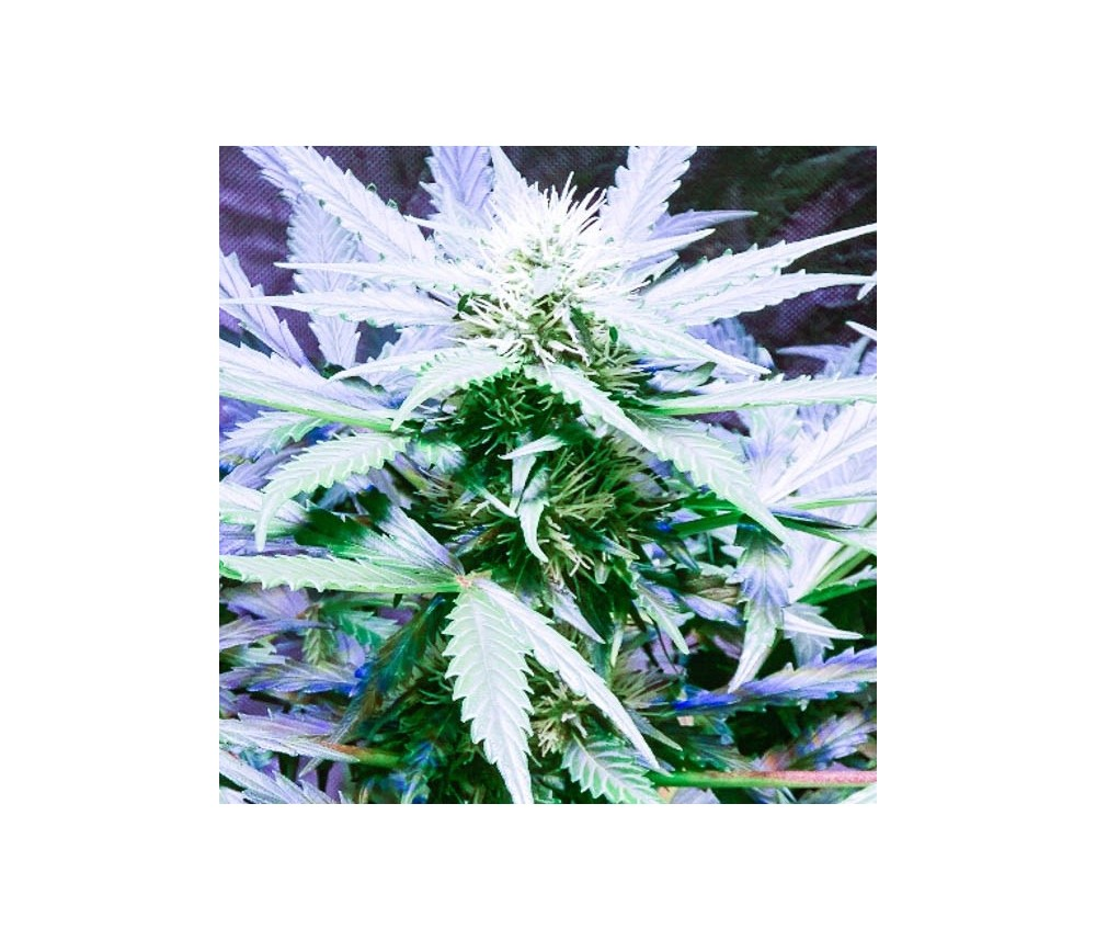Lemon OG Haze Autofloreciente - Nirvana Seeds