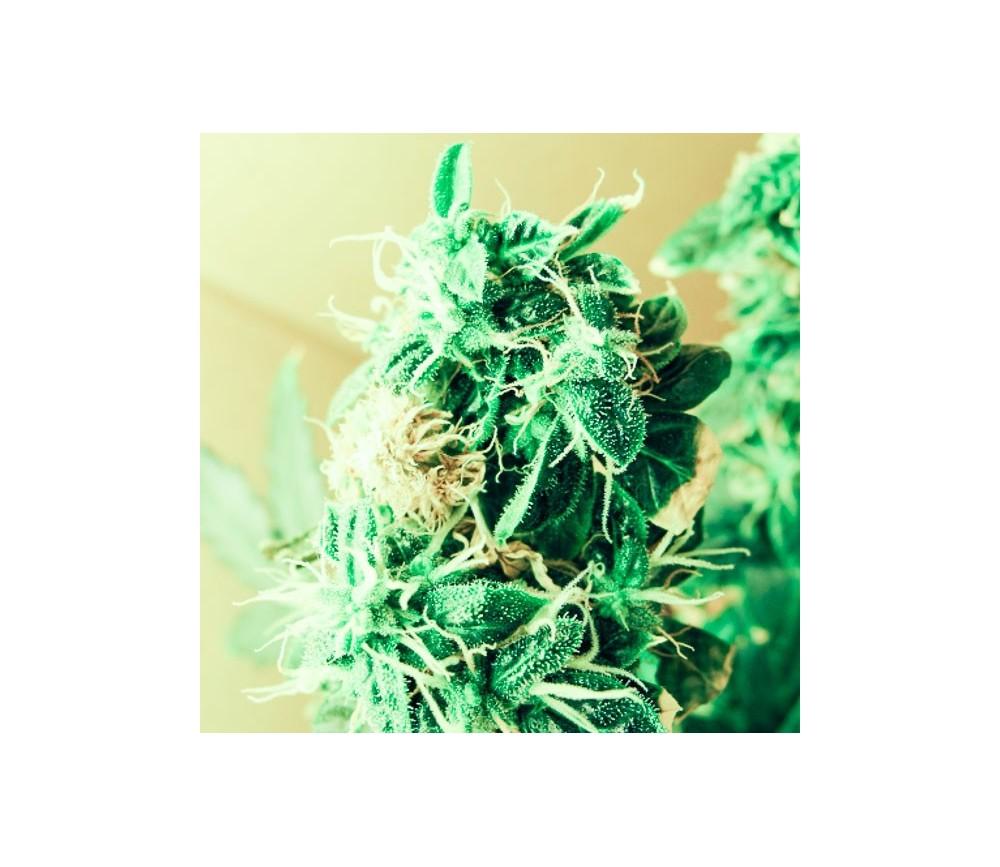 Northern Light Autofloreciente - Nirvana Seeds