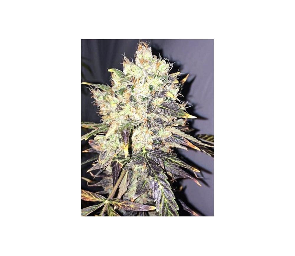 Supreme CBD Durban - Nirvana Seeds