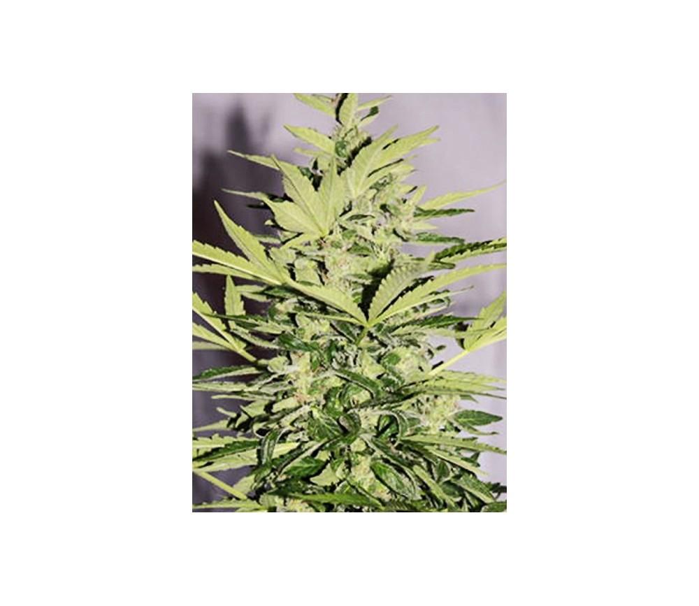 Supreme CBD Lemon OG Autofloreciente - Nirvana Seeds
