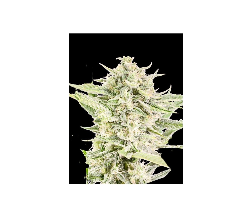 Auto Reek'n - Devil's Harvest Seeds