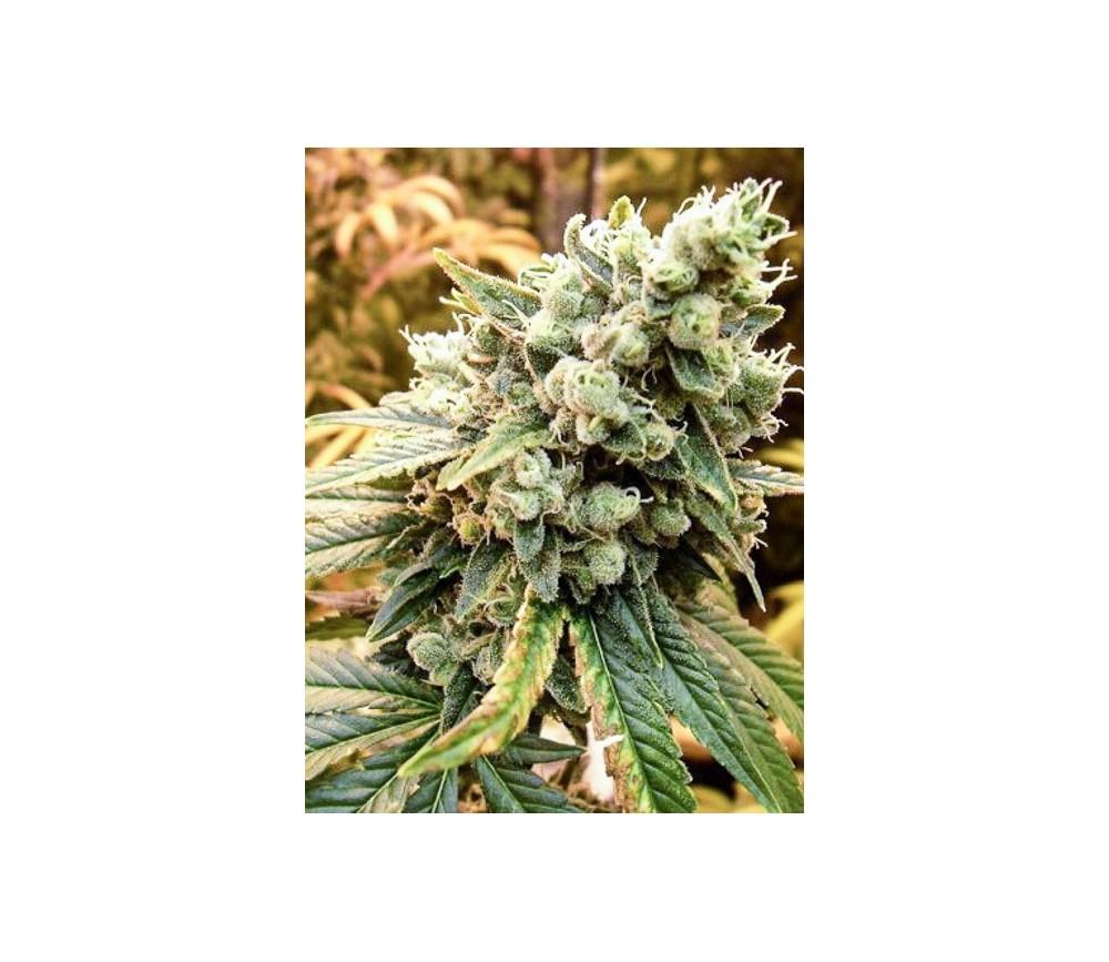 Sativa's Sour Diesel - Nirvana Seeds