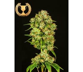 Casey Jones - Devil's Harvest Seeds
