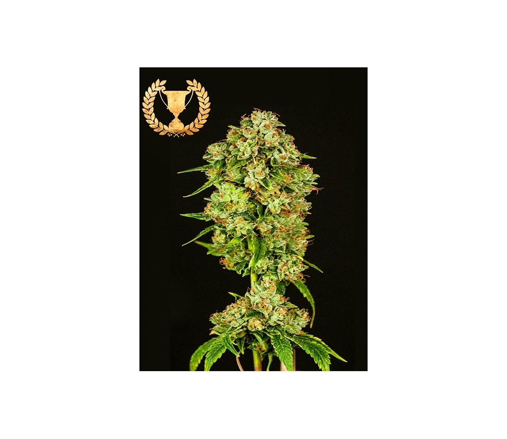 Casey Jones - Devil's Harvest Seeds