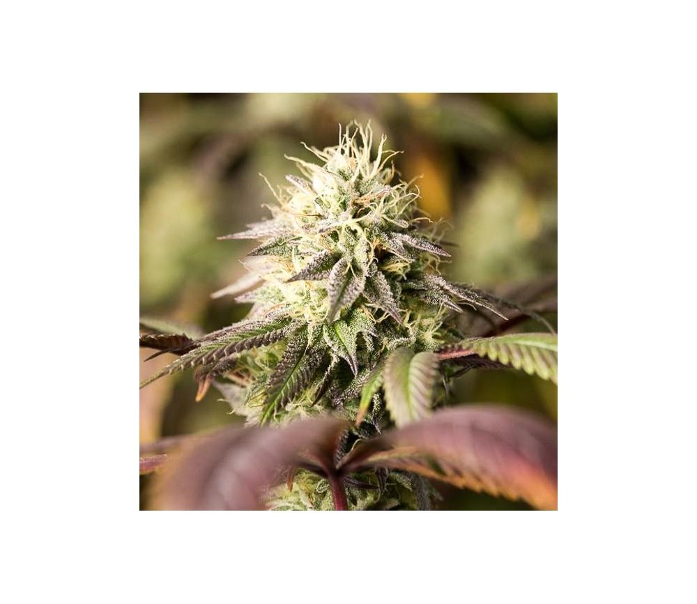 Remo Chemo - Dinafem Seeds