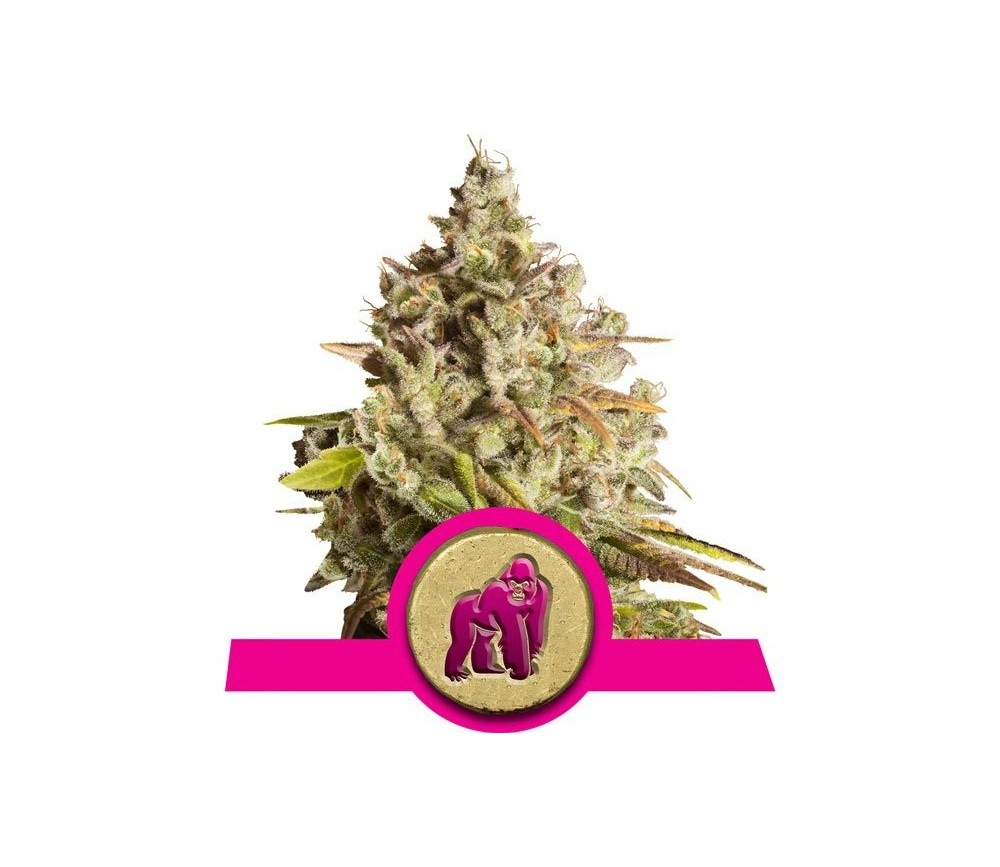 Royal Gorilla - Royal Queen Seeds