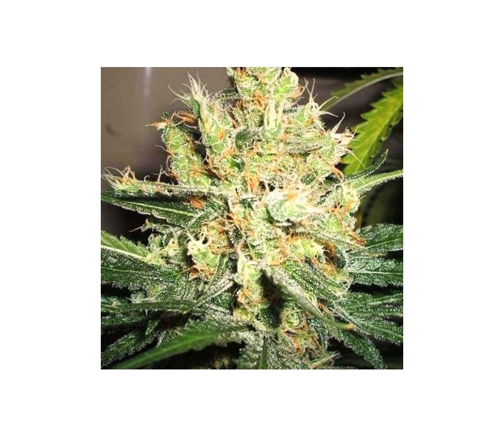 PPP Pure Power Plant - Nirvana Seeds