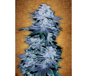 Blackberry - Fast Buds Seeds