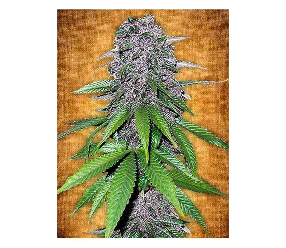 C4-Matic - Fast Buds Seeds