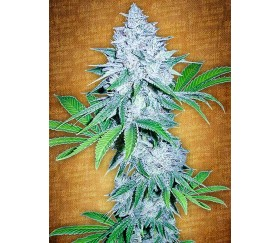 California Snow - Fast Buds Seeds