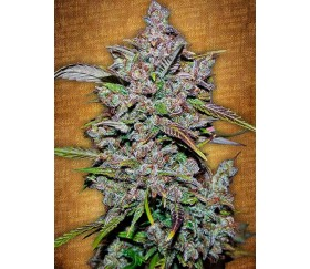 Crystal Meth - Fast buds Seeds
