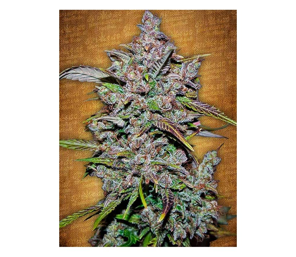 Crystal Meth - Fast buds Seeds