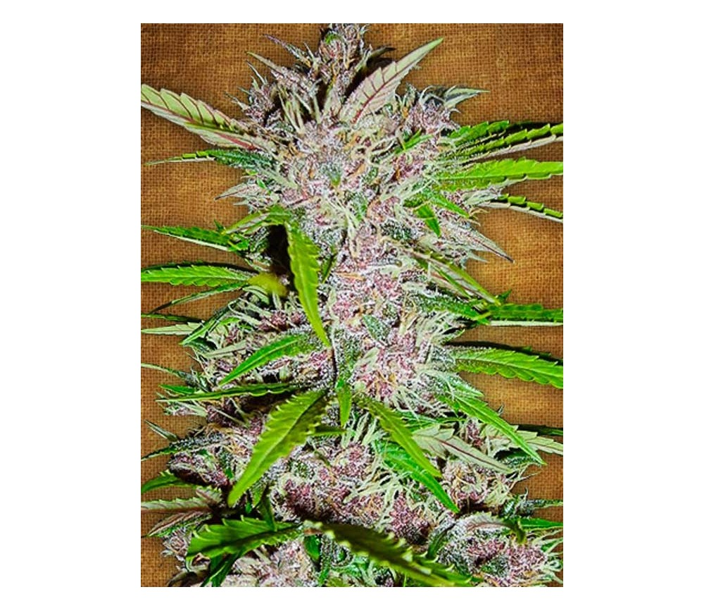 Fastberry- Fast Buds Seeds