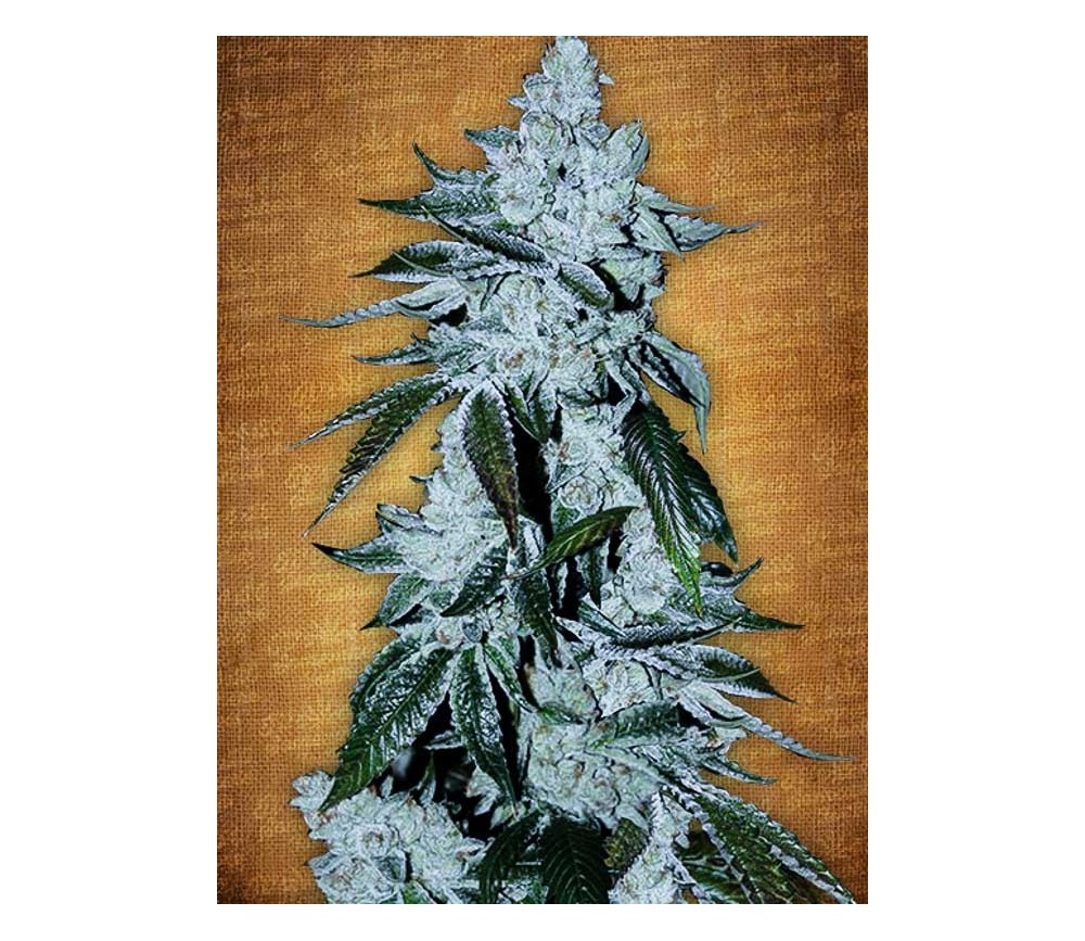 Girl Scout Cookies - Fast Buds Seeds