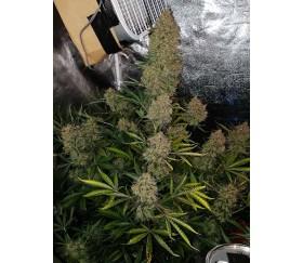 Gorilla Glue Auto - Fast Buds Seeds