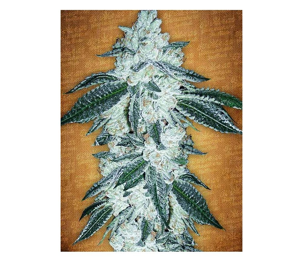 Gren Crack -Fast Buds- Seeds