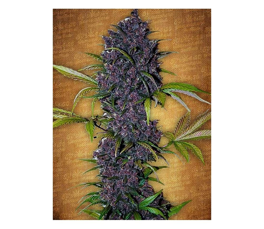 LSD-25 - Fast Buds Seeds