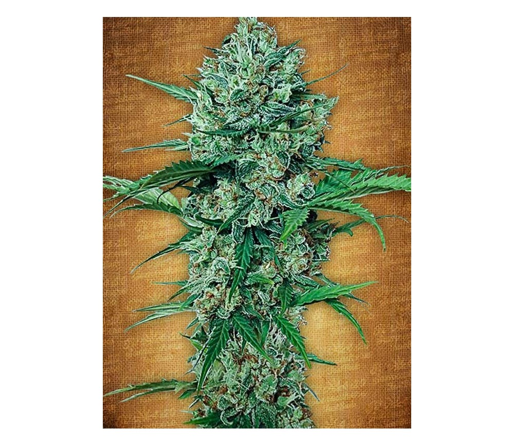 Northern Express - Fast Buds Seeds