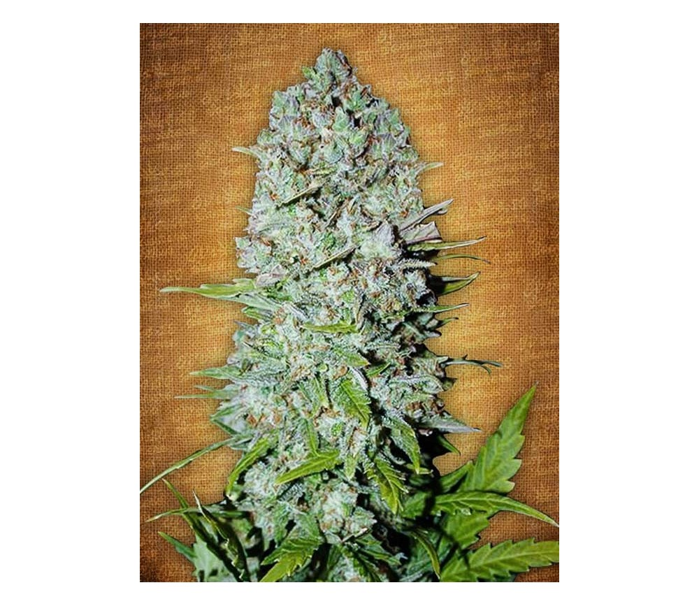 Pineapple Express - Fast Buds Seeds