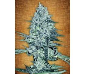 Rhino Ryder - Fast Buds Seeds