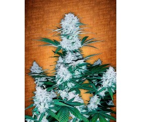 Six Shooter - Fast Buds Seeds