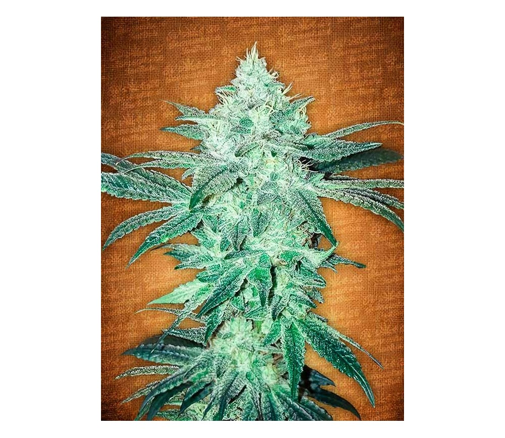 Stardawg - Fast Buds Seeds