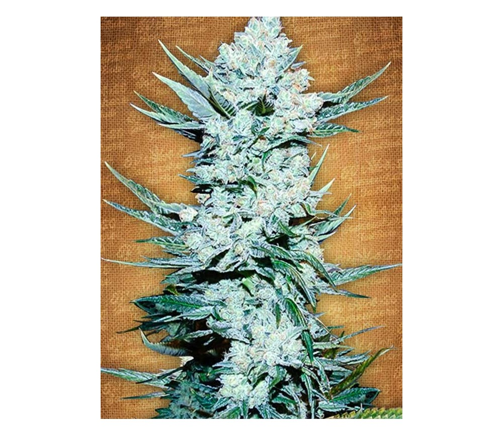 Tangie'matic - Fast Buds Seeds