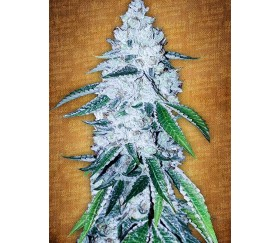 West Coast OG - Fast Buds Seeds