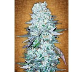 G14 - Fast Buds Seeds