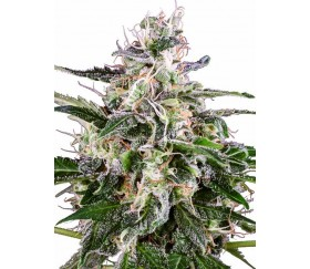 White Skunk Automatic - White Lavel Seeds