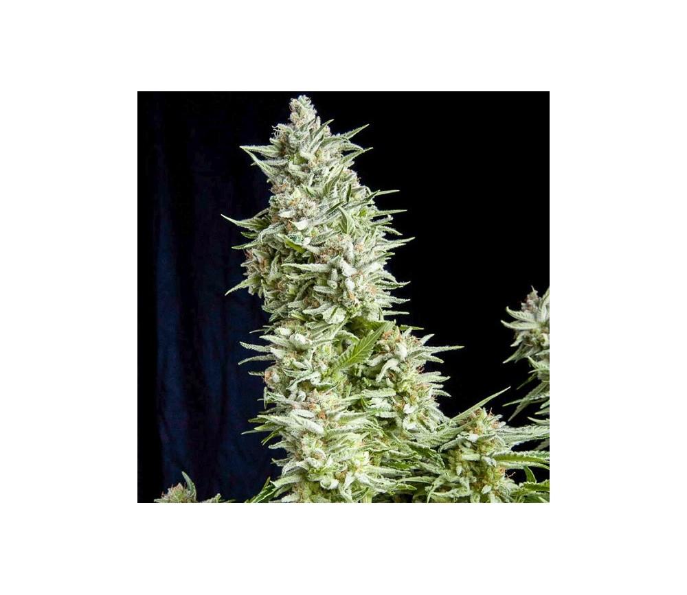 Alpujarreña - Pyramid Seeds