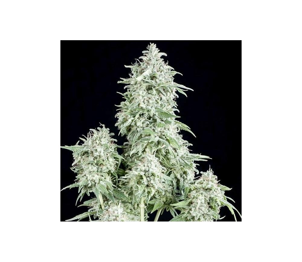 Anubis - Pyramid Seeds
