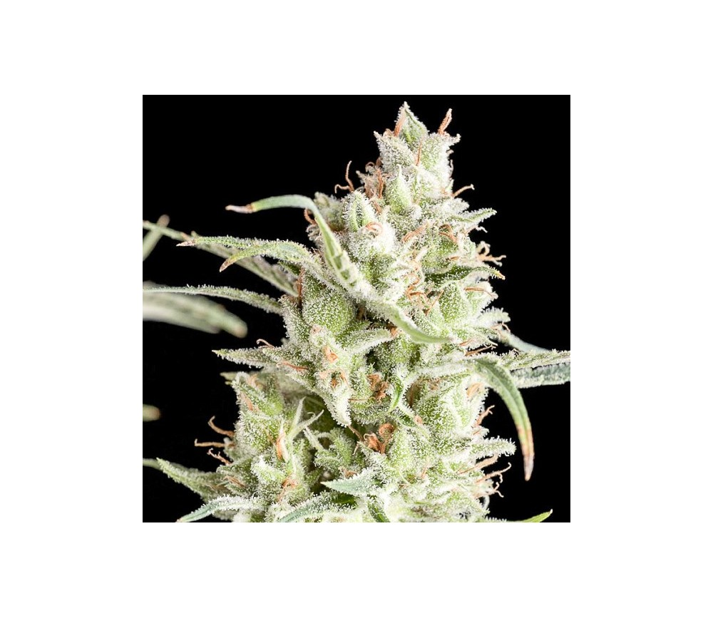 Super OG Kush - Pyramid Seeds
