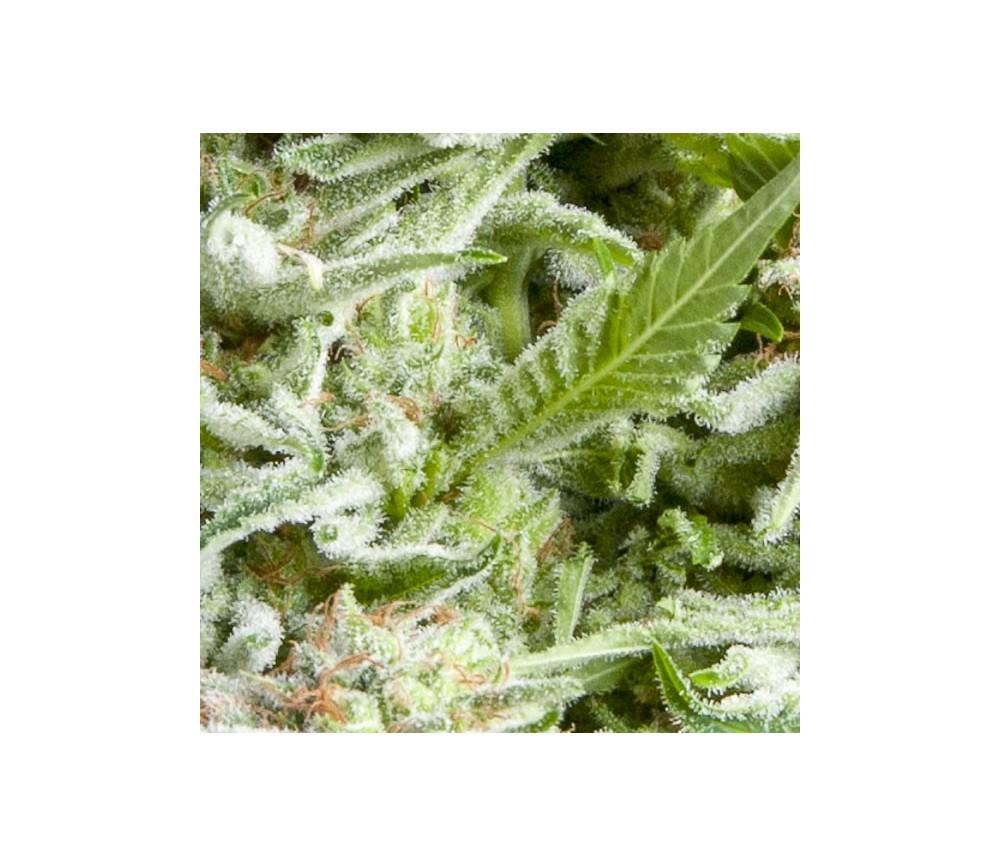Auto Alpujarreña - Pyramid Seeds