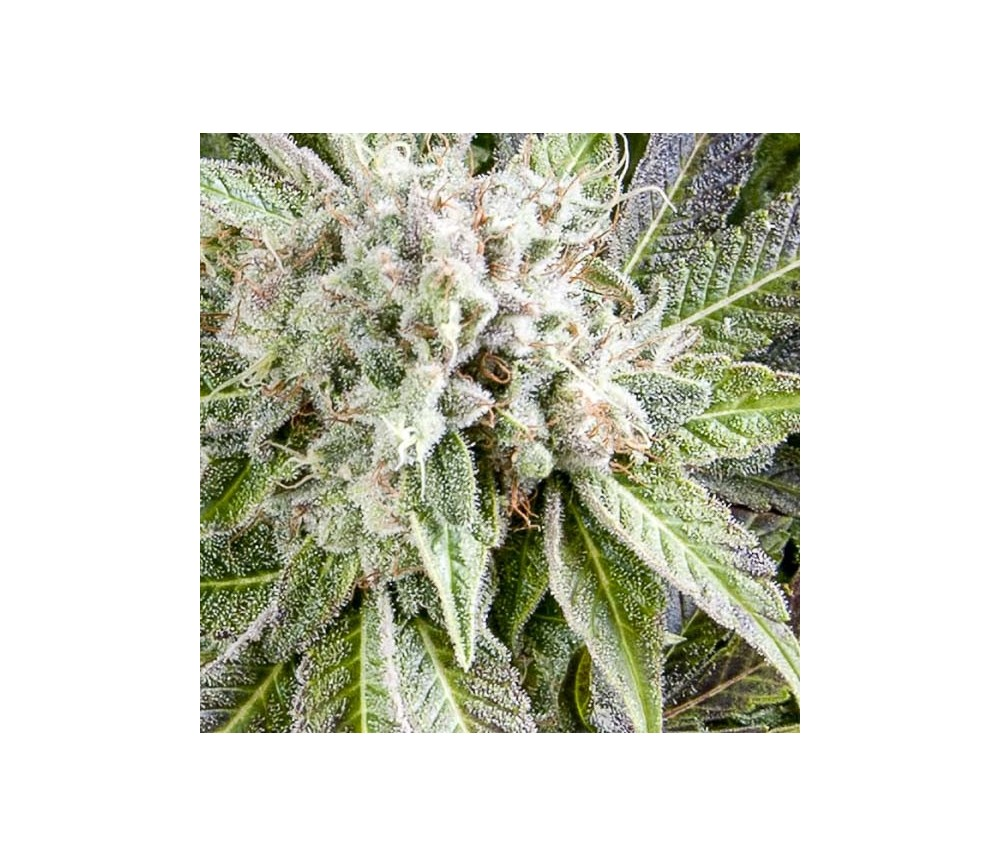 Auto Blue - Pyramid Seeds
