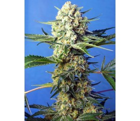 Crystal Candy F1 Fast Version - Sweet Seeds