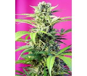 Chem Beyond Diesel CBD - Sweet Seeds