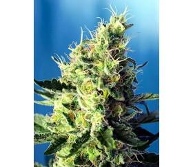 Sweet Pure CBD - Sweet Seeds