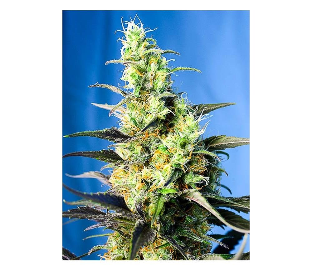 Ice Cool CBD - Sweet Seeds
