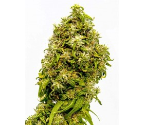 Swiss Dream CBD - Kannabia Seeds Company