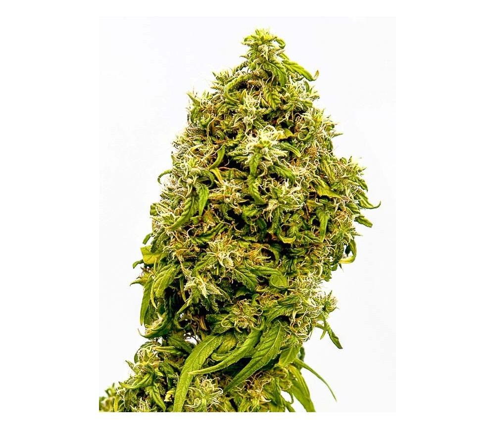 Swiss Dream CBD - Kannabia Seeds Company