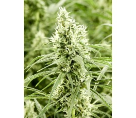 Golden Haze _ Devil's Harvest Seeds