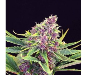 Purple Kush - Kannabia Seeds Company