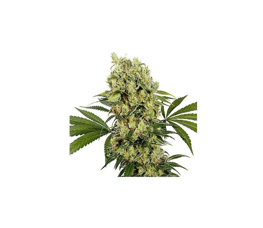 Medikit- Buddha Seeds