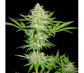 Cali Gangsta Kush - Sumo Seeds
