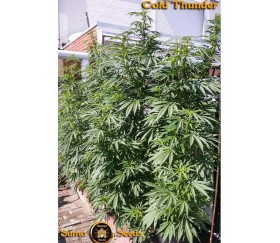 Cold Thunder- Sumo Seeds